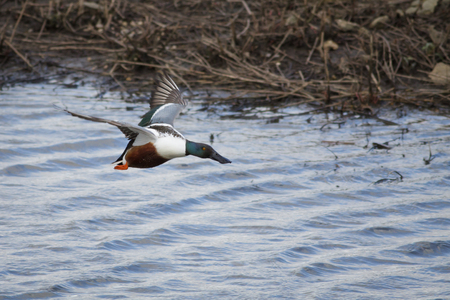northern shoveler duck: A Northern Shoveler flying low over the water. Stock Photo