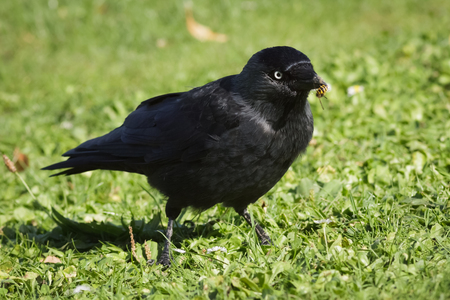 jackdaw: A Jackdaw disarming a wasps sting so that it can eat it.