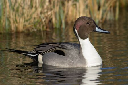 waterbird: Northern Pintail swimming in the weland environment.