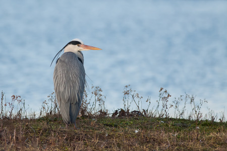 attacker: A Grey Heron in breeding plumage looking over its shoulder.