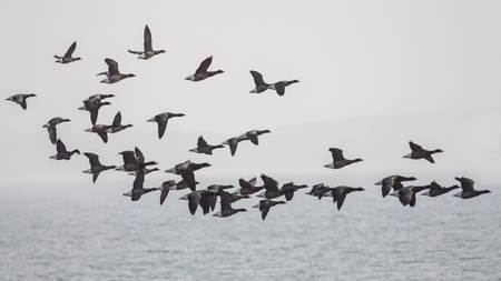 brent: Brent Geese flying across the  sea on a grey day, going left to right. Stock Photo
