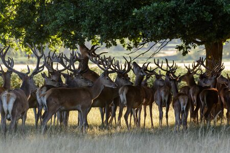 herd of deer: A herd of Red Deer Stags sheltering in the shade and eating oak leaves. Stock Photo