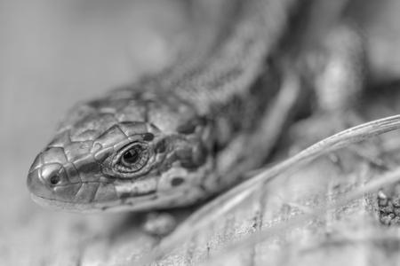 viviparous lizard: A black and white portrait of a Common Lizard.