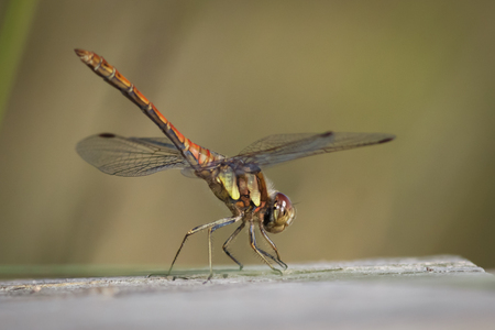 darter: A Common Darter perched on a wooden boardwalk, soaking up the sunshine.