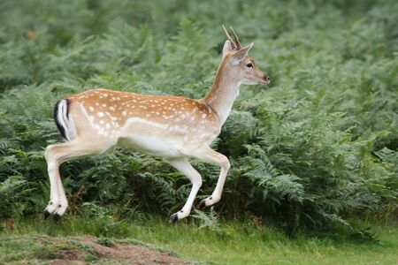 fallow deer: A Fallow Deer bounds off having been startled by something.