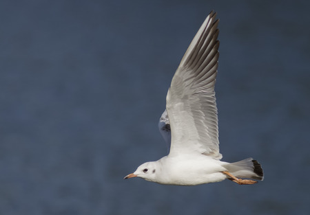gregarious: A Black-headed Gull flying across a lake. Archivio Fotografico