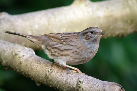 cryptic: A Dunnock perched on a branch.