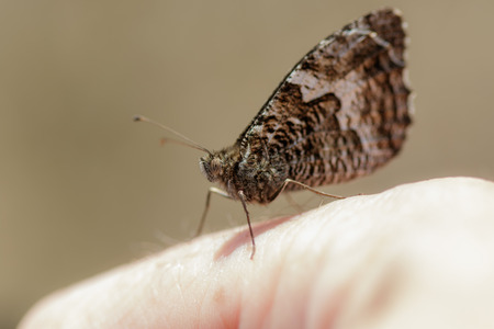 cryptic: Grayling butterfly perched on a persons hand with its wings closed.