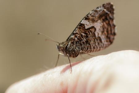 grayling: Grayling mariposa posada en una mano las personas, con sus 'alas cerradas.