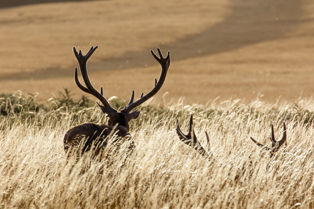 ungulates: A silhouette of two Red Deer stags in the evening sun among the long grass.