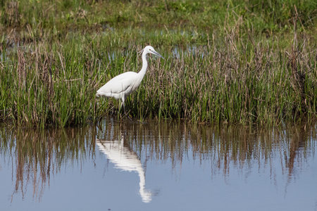 attacker: A Little Egret on the edge of a pond showing its reflection.