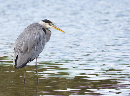 shallow water: A Grey Heron standing in the shallow water. Stock Photo