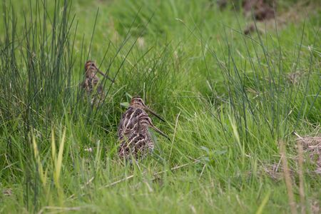 cryptic: A wisp of Snipe sitting in the long grass. Stock Photo