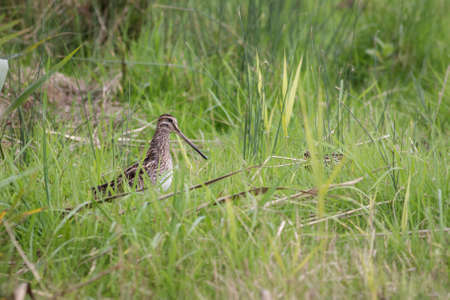 wader: A Snipe standing in the long grass.