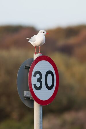 ridibundus: A Black-headed Gull sitting on a speed limit sign.