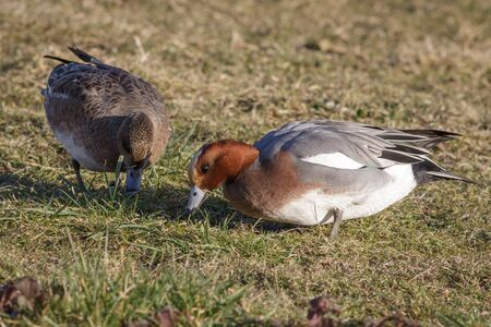 wildfowl: A pair of Wigeon grazing on the grass.