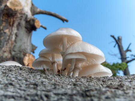 A bunch of Porcelain Mushrooms growing on a rotting log. Stock Photo