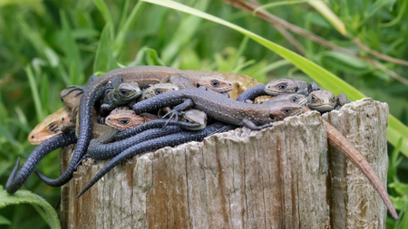 viviparous: Common Lizards bundled on a single log for its warmth.