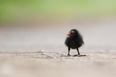 seemingly: A lone Moorhen chick standing all alone, seemingly lost. Stock Photo