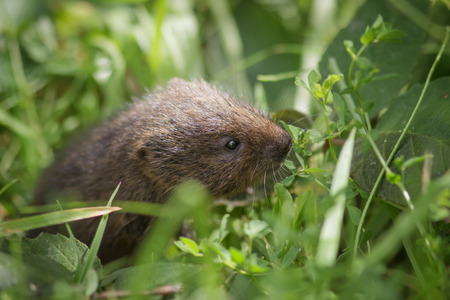 vole: A young Water Vole foraging in the long grass.