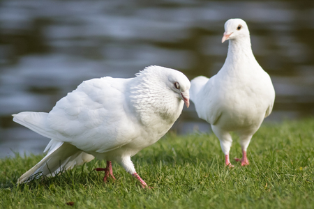 courtship: A pair of white Doves with the male doing a courtship dance.