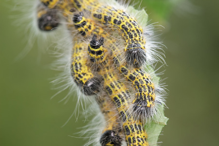 guess: Buff-tip Moth caterpillars. They have finally stopped eating so I guess they are all grown up and ready to drop.