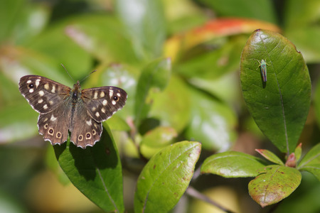 speckled wood: A Speckled Wood with a Leafhopper insect nearby.