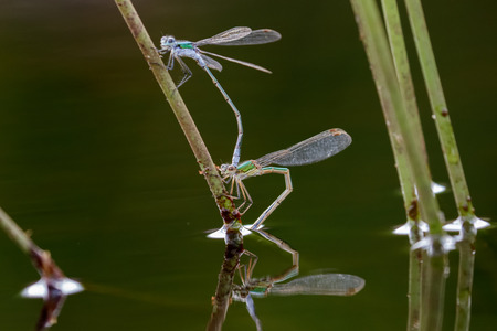 coupled: Emerald Damselflies paired up and in the process of laying eggs inside the grass stems. Stock Photo