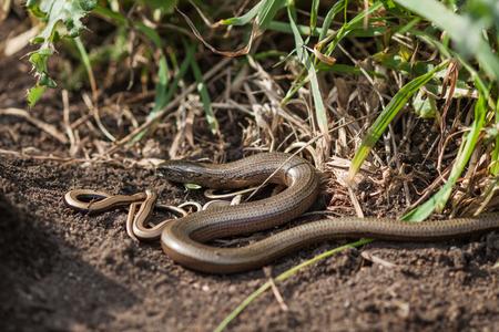 fragilis: A Slowworm family warming up by the sun.