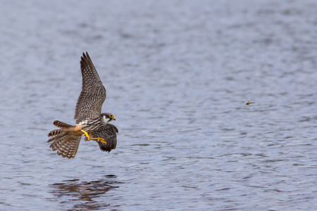 A Hobby just about to make the final grab for a dragonfly meal. Stock Photo
