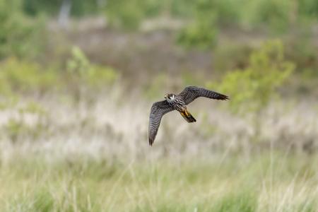 heathland: A Hobby hunting over the heathland.