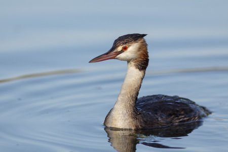 monogamous: Great Crested Grebe  on calm blue water.