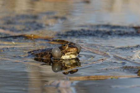 croaking: A male Marsh Frog displaying in the breeding season. Stock Photo