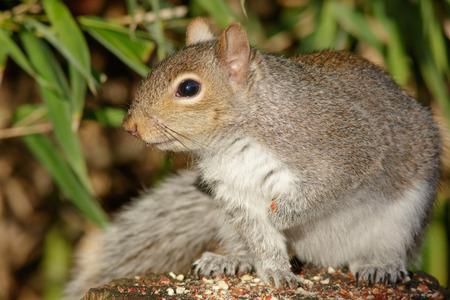squirrel: Grey Squirrel visits a peanut feeding station on a log.