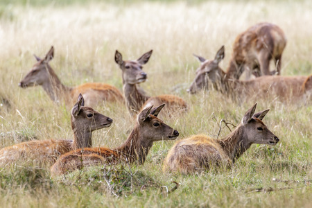 ruminant: A herd of female and young Red Deer sitting in the long grass.