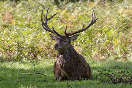 proudly: A Red Deer stag sitting proudly in front of the ferns. Full set of antlers. Stock Photo