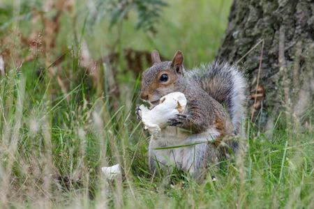devouring: A Grey Squirrel tucking into a tasty mushroom. Stock Photo