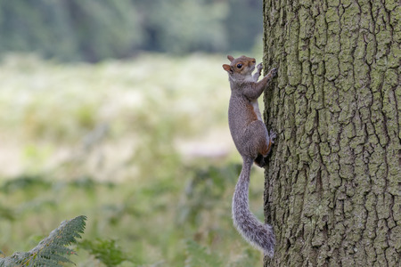 carolinensis: A Grey Squirrel clings to the turnk of an Oak tree. Stock Photo