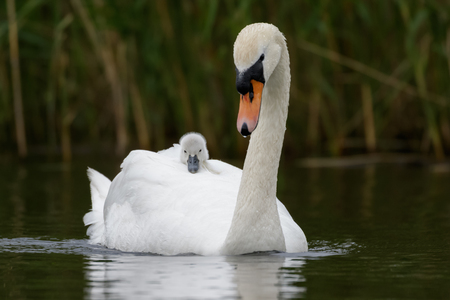 cygnet: An adult Swan carries her young cygnet on her back for faster travelling and protection. Stock Photo