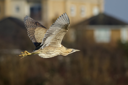 spread legs: A Bittern doing a fly past on an urban background.