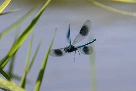 zygoptera: A male Banded Demoiselle patrolling the reeds for rival males or a female to mate with.