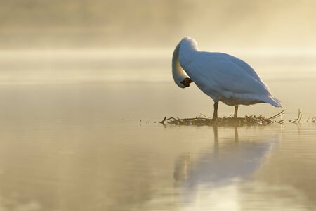 aligning: Mute Swan preening on a golden pond at sunrise. Stock Photo