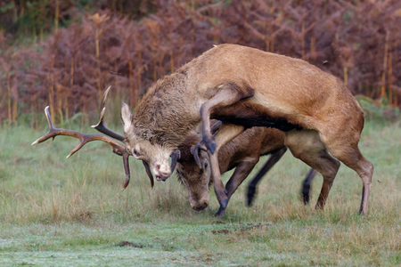 dueling: A pair of Red Deer stags fighting on a crisp morning.