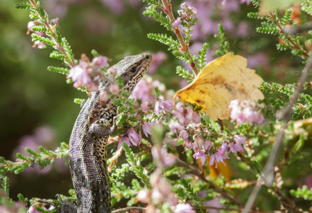 viviparous: Common Lizard hanging out on some Heather. Stock Photo