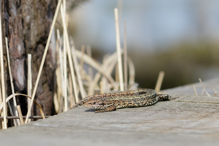 lacerta: A Common Lizard basking in the sun on a wooden boardwalk. Stock Photo