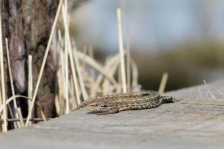lagartija: A Common Lizard basking in the sun on a wooden boardwalk. Foto de archivo