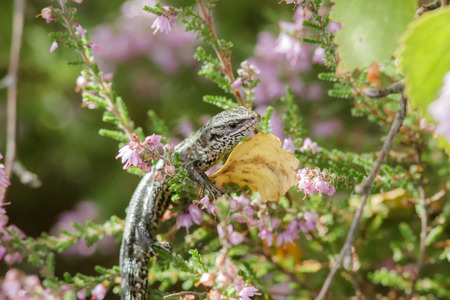 animal viviparous: Common Lizard hanging out on some Heather. Stock Photo