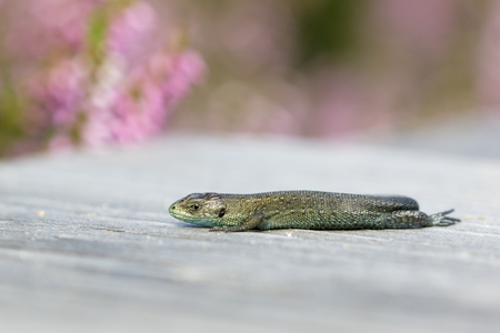 cryptic: A Common Lizard basking in the sun on a wooden boardwalk. Stock Photo