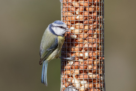 blue tit: Blue Tit on a garden peanut feeder
