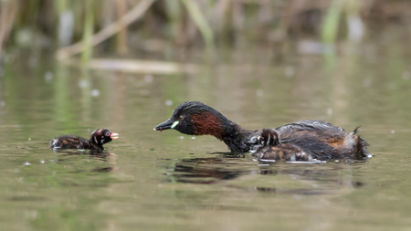 humbug: Adult Little Grebe feeding young out on open water. Stock Photo